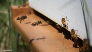 abeillequirentre
